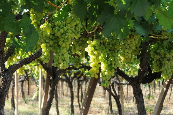 Донская компания запустила продажу недорогого вина собственного производства