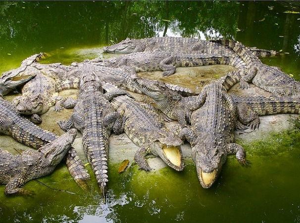 На крокодиловой ферме ростовчанина живут сотни рептилий