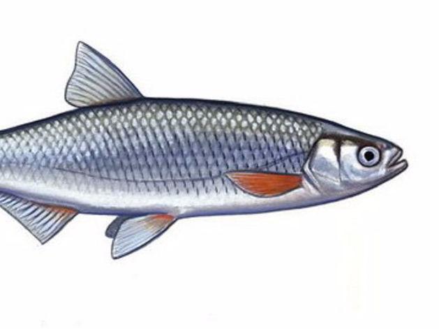 С Ростовской продовольственной базы изъяли краснокнижную рыбу