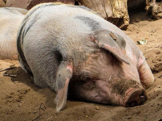 В Ростовской области взято 4 тысячи проб на выявление африканской чумы свиней